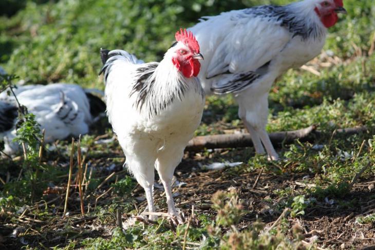 Le poulet du bourbonnais l 39 honneur de l 39 mission meteo a la carte sur fr3 volailles - Recette de meteo a la carte ...